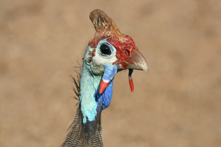 south african birds: Close-up portrait of a Helmeted guineafowl (Numida meleagris), South Africa LANG_EVOIMAGES