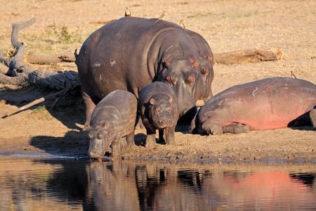 hippopotamus: Familia de hipopótamo (Hippopotamus amphibius), descansando fuera del agua, Sudáfrica  LANG_EVOIMAGES