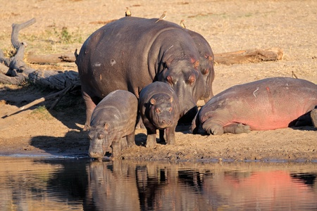 wildlife reserve: Hippo family (Hippopotamus amphibius), resting outside the water, South Africa  LANG_EVOIMAGES