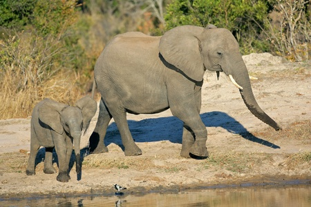 African elephant cow (Loxodonta africana) and her calf at a waterhole, South Africa  Stock Photo - 10340105