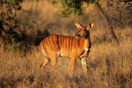 herbivore natural: Female Nyala antelope (Tragelaphus angasii), South Africa  LANG_EVOIMAGES