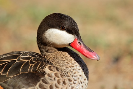 Portrait of a red-billed teal (Anas erythrorhyncha), southern Africa Stock Photo - 10340102