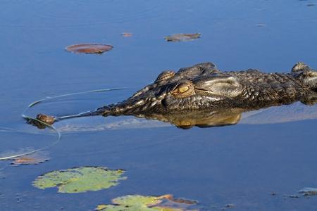 kakadu: Large saltwater crocodile, Yellow water billabong, Kakadu National Park, Northern Territory, Australia  LANG_EVOIMAGES