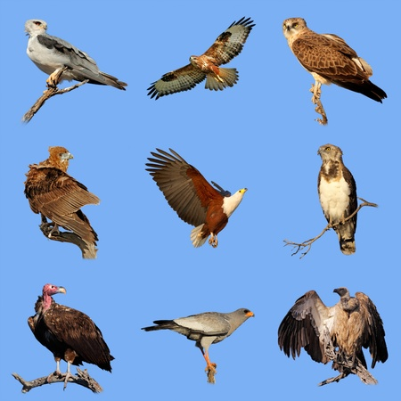 beak vulture: Collection of various species of African birds of prey on a blue sky background