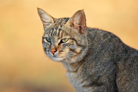 Portrait of an African wild cat (Felis silvestris lybica), Kalahari desert, South Africa photo