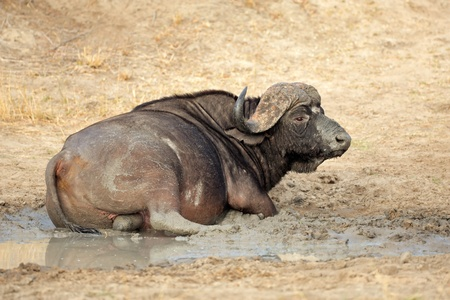 African or Cape buffalo bull - Syncerus caffer - taking a mud bath, South Africa photo