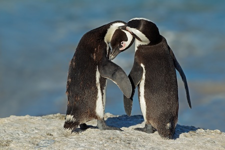 Pair of African penguins - Spheniscus demersus, Western Cape, South Africa photo
