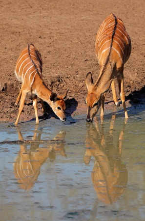 Two female Nyala antelopes (Tragelaphus angasii) drinking water, Mkuze game reserve, South Africa  photo