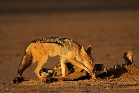Un chacal de lomo negro (Canis mesomelas) hurgando en un canal, desierto de Kalahari, Sud�frica Foto de archivo - 14655102