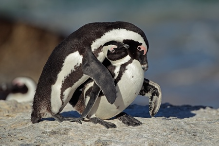 Pair of African penguin (Spheniscus demersus), Western Cape, South Africa   photo