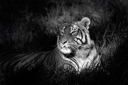 black an white: Imagen blanco y negro de un tigre de Bengala (Panthera tigris bengalensis) por la que se en la hierba Foto de archivo