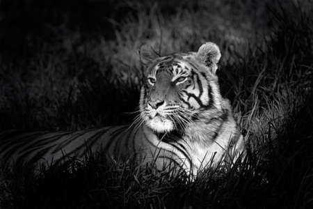 black and white: Monochrome image of a bengal tiger (Panthera tigris bengalensis) laying in grass