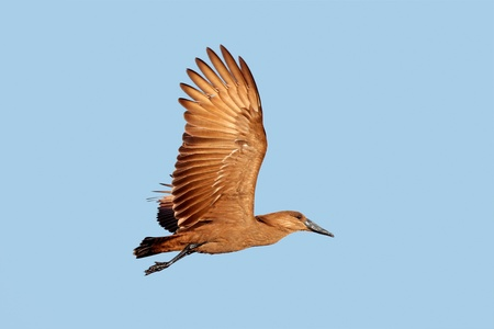 aerial animal: Hammerkop bird (Scopus umbretta) in flight with outstretched wings, South Africa