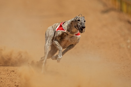 eager: Greyhound at full speed during a race  Stock Photo