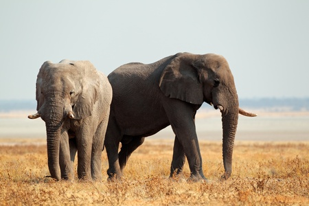 African elephants (Loxodonta africana) on the open plains of the Etosha National Park, Namibia Stock Photo - 16559099
