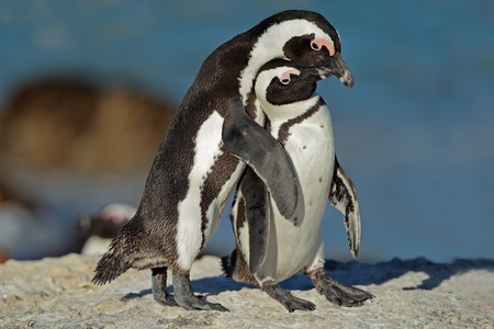 Pair of African penguins - Spheniscus demersus, Western Cape, South Africa Stock Photo - 16559109