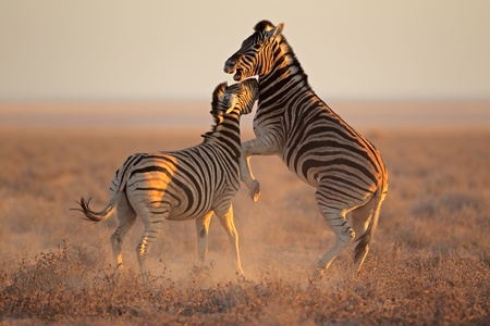 Two Plains Zebra stallions - Equus burchelli - fighting, Etosha National Park, Namibia Stock Photo - 16559101