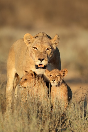 kalahari: Lioness with young lion cubs - Panthera leo - in early morning light, Kalahari desert, South Africa