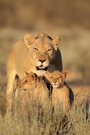 kalahari desert: Lioness with young lion cubs - Panthera leo - in early morning light, Kalahari desert, South Africa