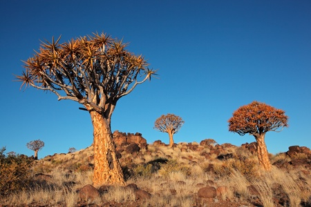 dichotoma: Desert landscape with granite rocks and quiver trees - Aloe dichotoma, Namibia