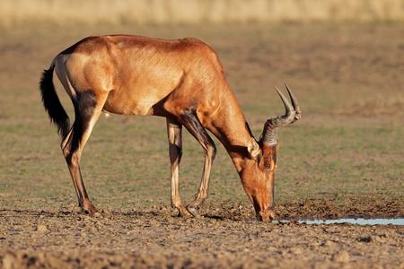safari animal: Red hartebeest - Alcelaphus buselaphus - drinking water, Kalahari, South Africa