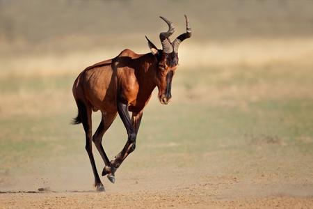 Red hartebeest -  Alcelaphus buselaphus - running, Kalahari desert, South Africa