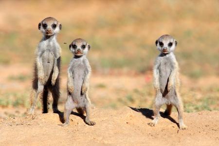 suricatta: Cute meerkat babies - Suricata suricatta, Kalahari desert, South Africa