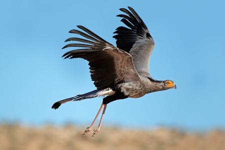 secretaria: Secretaria p�jaro - Sagitario serpentarius - en vuelo, desierto de Kalahari, Sud�frica