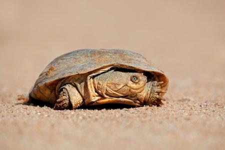 terrapin: Elmetto Terrapin - Pelomedusa subrufa - sulla terra, Sud Africa