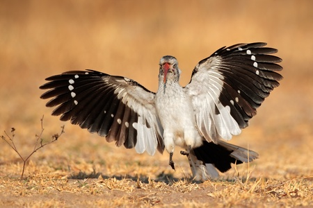 Red-billed hornbill - Tockus erythrorhynchus - landing with open wings, South Africa photo
