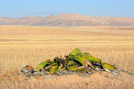 national plant: Ancient welwitschia plant - Welwitcshia mirabilis, Namib-Naukluft National park, Namibia, southern Africa