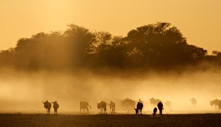 taurinus: Blue wildebeest - Connochaetes taurinus - in dust at sunrise, Kalahari desert, South Africa LANG_EVOIMAGES