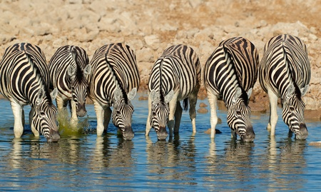 pozo de agua: Llanuras o Burchells Zebras - Equus burchelli - agua potable, Parque Nacional de Etosha, Namibia