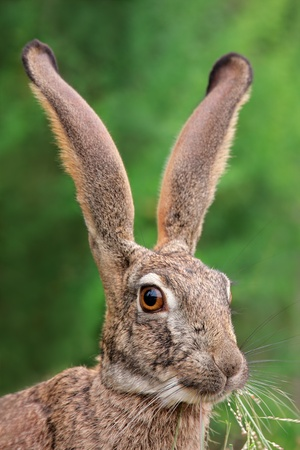 Portrait of a scrub hare - Lepus saxatilis - with long ears and large eyes, southern Africa Stock Photo - 18451297