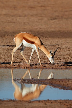 marsupialis: A springbok antelope - Antidorcas marsupialis - with reflection in water, Kalahari desert, South Africa
