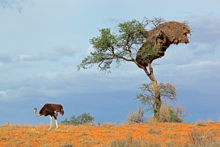 kalahari: An ostrich - Struthio camelus - and an Acacia tree on a red sand dune, Kalahari desert, South Africa