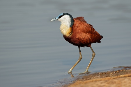 south african birds: African Jacana - Actophilornis africana, Kruger National Park, South Africa LANG_EVOIMAGES