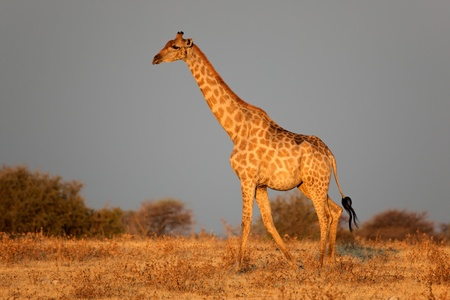 giraffa camelopardalis: Giraffe - Giraffa camelopardalis - in late afternoon light, Etosha National Park, Namibia  LANG_EVOIMAGES