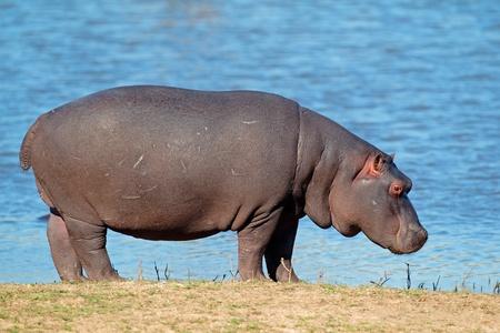 hippopotamus: Hippopotamus - Hippopotamus amphibius, Sudáfrica