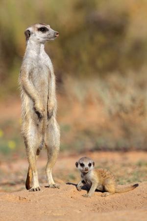 suricatta: Meerkat - Suricata suricatta - with curious baby, Kalahari desert, South Africa