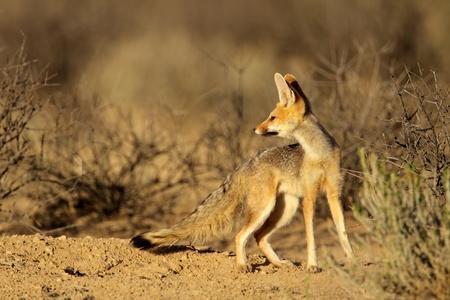 elusive: Cape fox - Vulpes chama, Kalahari desert, South Africa