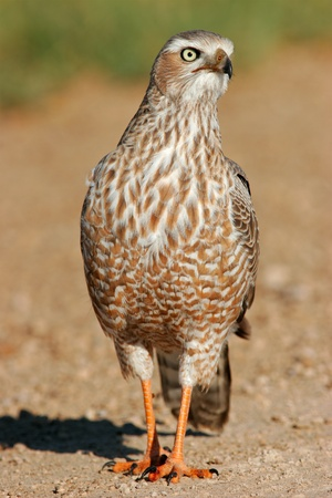 chanting: Immature Pale Chanting Goshawk - Melierax canorus, Etosha National Park, Namibia