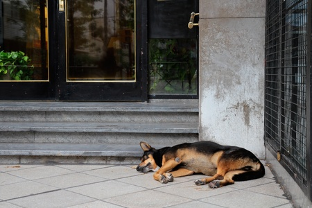 stray dog: Homeless, stray street dog sleeping in front of a city building Stock Photo