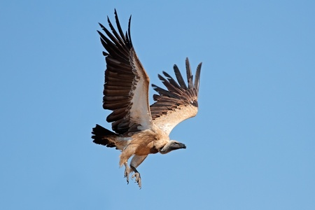 gyps: White-backed vulture - Gyps africanus - in flight, South Africa Stock Photo