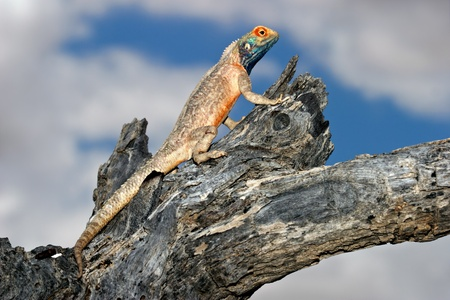 aculeata: Male ground agama - Agama aculeata - sitting in a tree, Kalahari desert, South Africa Stock Photo