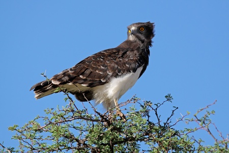kalahari: Black-breasted snake eagle - Circaetus gallicus - perched on a tree, Kalahari, South Africa