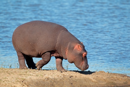 safari animal: Hippopotamus - Hippopotamus amphibius, South Africa LANG_EVOIMAGES
