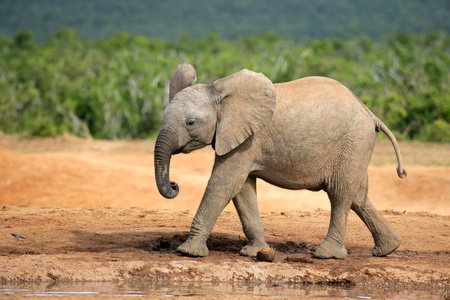 big5: A young African elephant - Loxodonta africana, South Africa