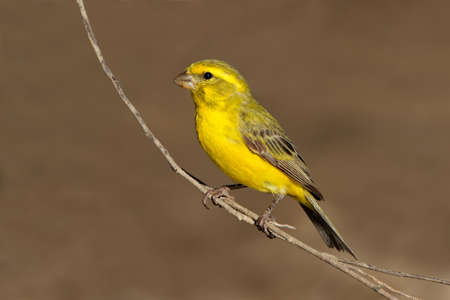 perching: Yellow canary - Serinus mozambicus - perched on a branch, Kalahari, South Africa Stock Photo