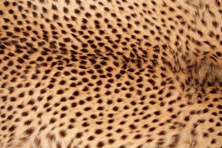chita: Vista de primer plano de la piel de un guepardo - Acinonyx jubatus